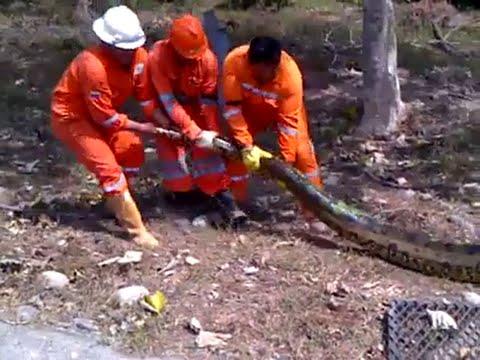 Trabajadores de petrolera hallan  anaconda de 9  metros. (Colombia)