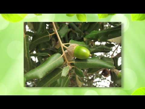 Загадки дуба и клена