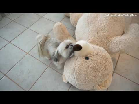 Munchkin the little shih tzu trying to drag huge teddy bear