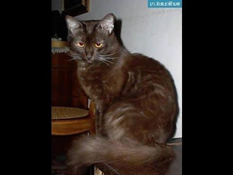 Йорская шоколадная кошка
