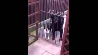 Собака передразнивает хозяина(, 2015-02-01T18:20:35.000Z)