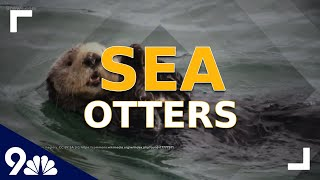 Becky's Beasts: Learning all about sea otters