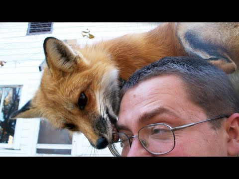 FOX - A CUTE FOX And FUNNY FOX Videos Compilation || PET VIDEOS