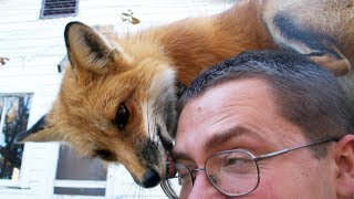 FOX - A CUTE FOX And FUNNY FOX Videos Compilation || PET VIDEOS