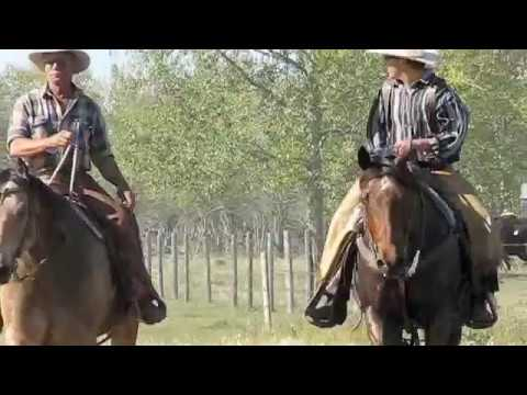 Hutterite Cowboys move cattle with horses and Ross Hinter