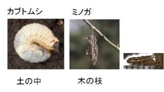 昆虫の冬越し 中学入試に出てくるものすべてです。