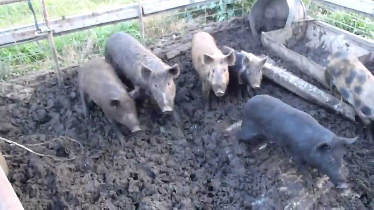 Image result for pigs in a pen