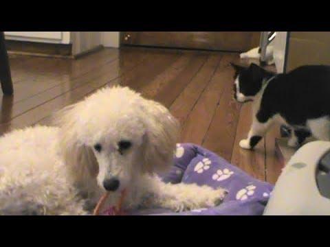 Kitten and Puppy Cam