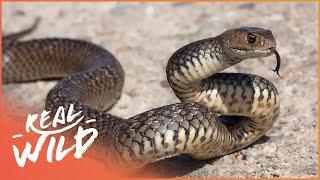 Australia's Deadliest Snakes (Venomous Animal Documentary) | Deadly Australia | Real Wild