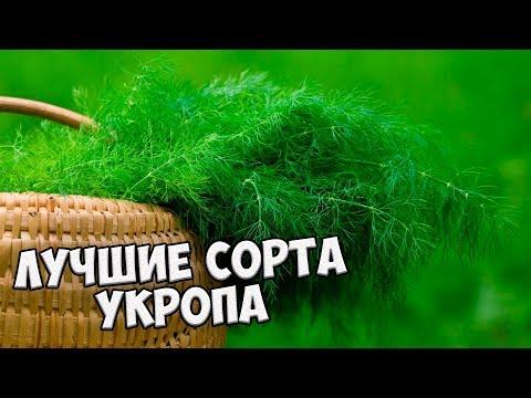 Семена укропа �� Выбираем лучшие сорта укропа от агрофирмы ГАВРИШ