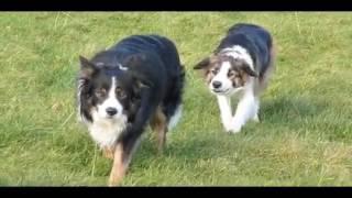 Как развлекаются пастушьи собаки