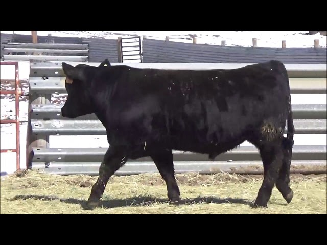 Connealy Angus Lot 42