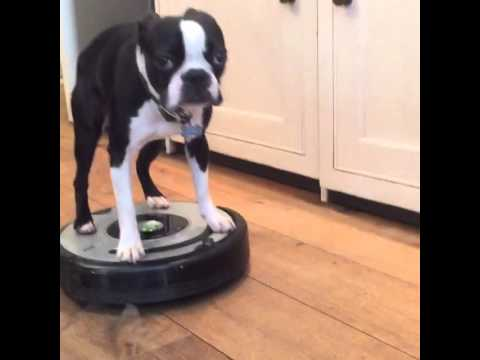 Roomba 650 Vs Boston Terrier Doovi