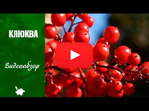 КЛЮКВА ✅ Выращивание клюквы в саду