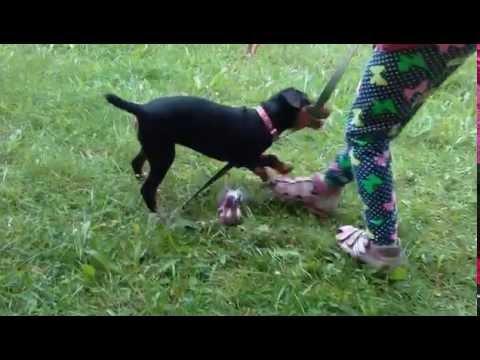 Ягдтерьер: как выбрать щенка и на что обратить внимание