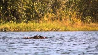 The Hippos of Lake Tengrela, Burkina Faso