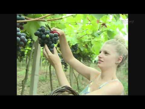 Sistema De Colha E Pague De Uvas, Faz Sucesso Em Chapecó