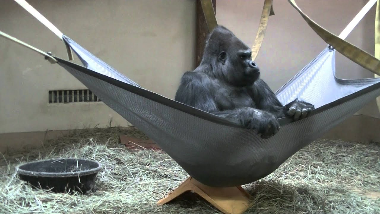 Hammock Can Barely Hold 400 Lb Gorilla