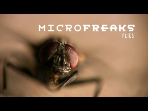 Flies: Masters of Decay | MicroFreaks
