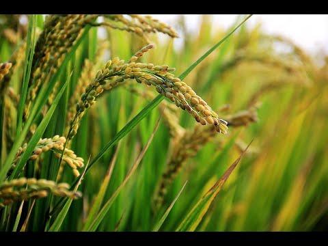 انخفاض الإنتاج الغذائي لكوريا الشمالية  - 10:55-2018 / 12 / 13