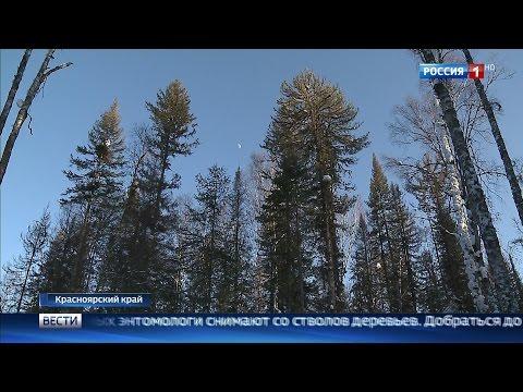 Хвойные деревья: виды и сорта. Сосна, пихта, кедр, тис