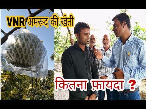 VNR अमरूद की खेती की जानकारी | कितना फ़ायदा किसान को | VNR Guava Farming