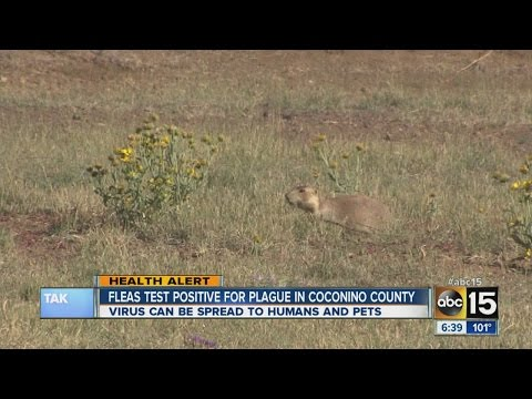Fleas test positive for plague in Coconino County