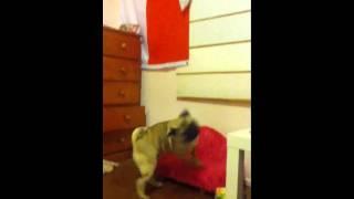 Pug being annoying