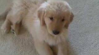 10 Week Old Golden Retriever Puppy Learns to Roll Over