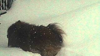 Oh Man, Did It Snow Again! Pomeranian And Deep Snow!