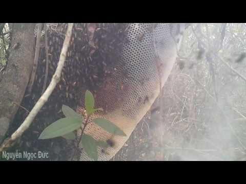 Lấy tổ ong mật p1