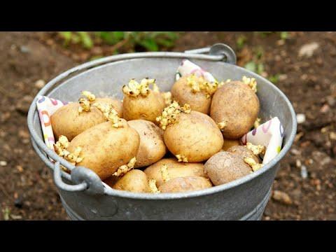 Способы посадки картофеля: какой лучше, грунт, почва, удобрение, картошка, посадка картошки, сотка