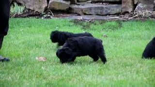 Rottie Poo Puppies For Sale John King