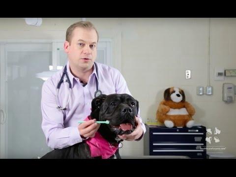 Vet Tutorial | How to Brush a Dog's Teeth
