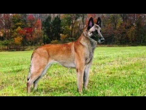 How To Breed Belgian Malinois