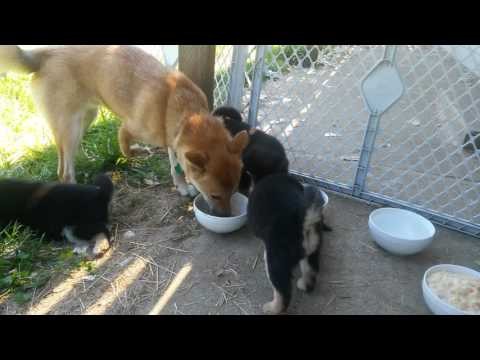 4 week old shiba inu puppies 1st time outside