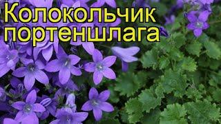 Колокольчик портеншлага. Краткий обзор, описание характеристик campanula portenschlagiana