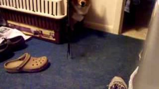 Pembroke Welsh Corgi Hates When Cats Sing Jingle Bells