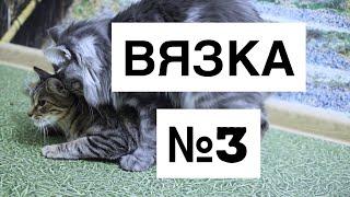 Вязка №3 Курильских Бобтейлов  21.06.2020г.