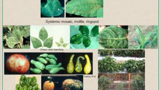 Viral Diseases in Cucurbits: Identification and Management Strategies HD 720p