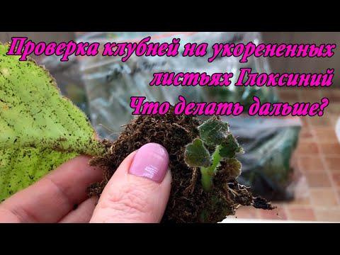 Сколько растёт клубень у глоксинии от листа! Когда проверять и что делать?
