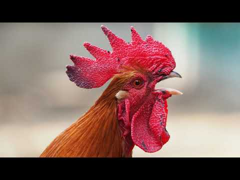 rooster-tone-|-free-ringtone-downloads