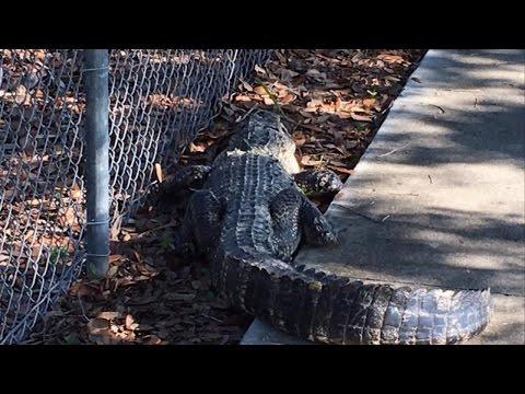 7-Foot-Long Alligator Seen Wandering on Sidewalk Outside Elementary School
