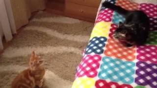 ДВА БРАТА - МЕЙН КУНЫ!!! НЕ СКУЧНО!!! Котята Иннокентий и Инди в Мурманске