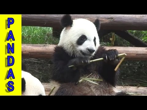 Most Endangered Species & Threatened Species – Pandas on the Endangered Species List