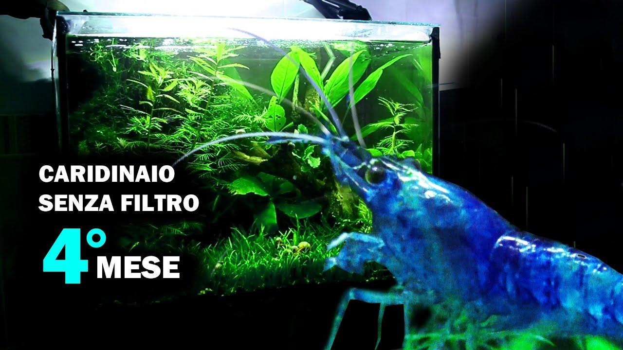 Filtro Ad Aria Caridine.Caridinaio Senza Filtro 4 Mese Inserimento Caridine Blue Dream Finalmente