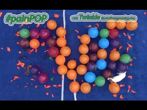 #ipainPOP with Twinkie the Balloon Popping Dog