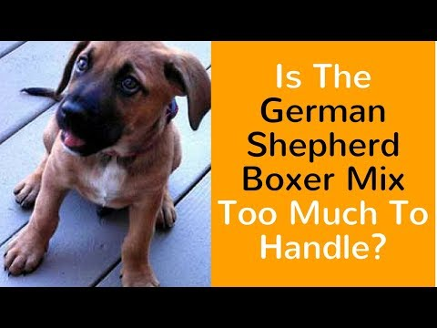 is-the-german-shepherd-boxer-mix-too-much-to-handle?