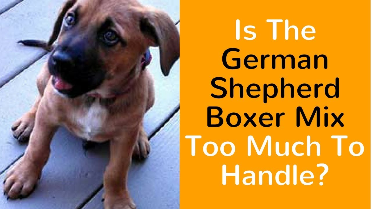 Is The German Shepherd Boxer Mix Too Much To Handle Youtube