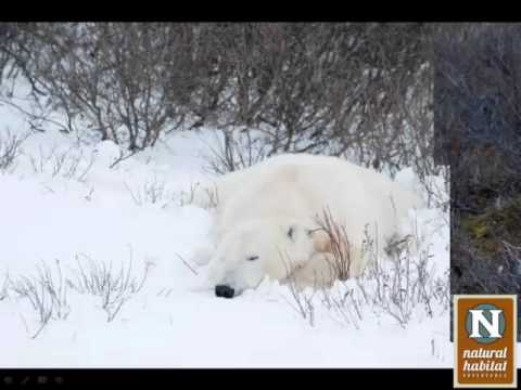 WEBINAR | Photographing Polar Bears in the Wild